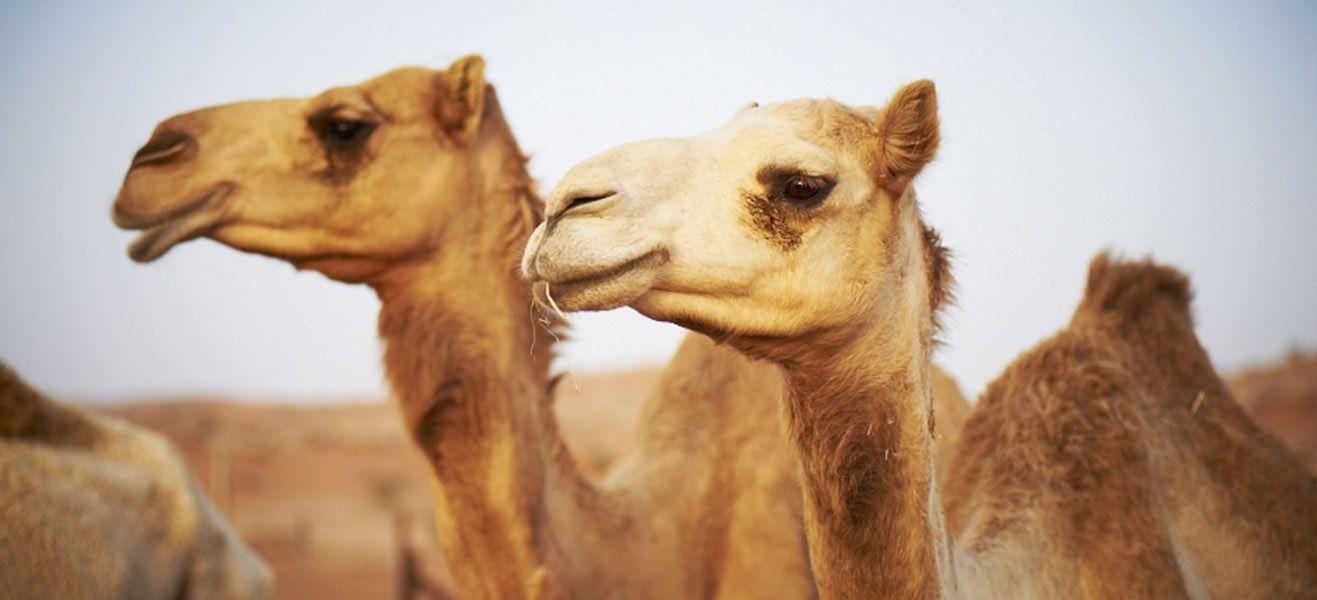 image of camels in desert